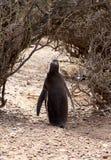 孤独的企鹅Magellanic。巴塔哥尼亚的狂放的本质。 免版税库存图片
