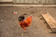 孤独的公鸡 免版税库存照片