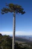 孤独的南洋杉 免版税库存照片