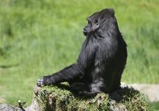 孤独的大猩猩 库存照片
