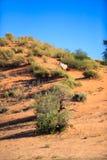 孤独的大羚羊 库存照片
