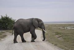 孤独的大象 免版税库存图片