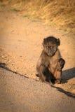 孤独的小狒狒 免版税库存照片