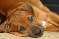 孤独的小狗 免版税图库摄影