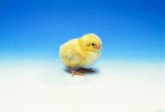 孤独的小鸡 免版税库存图片