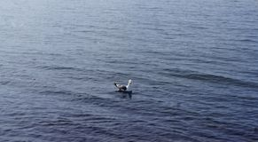 孤独的恼怒的海鸥在夏天水中游泳 免版税库存照片