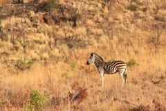 孤独的斑马在南非 免版税库存图片