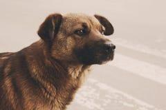 孤独的无家可归的狗 库存图片