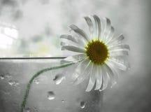 孤独的春黄菊 图库摄影