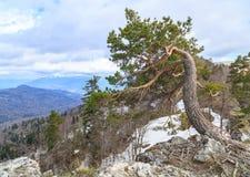 孤独的杉木在峭壁增长在Adygei,俄罗斯 免版税图库摄影