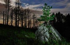 孤独的杉木在晚上 免版税库存照片