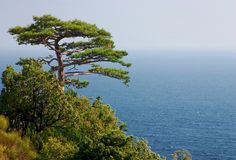 孤独的杉木 免版税库存图片