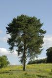 孤独的杉木 免版税库存照片