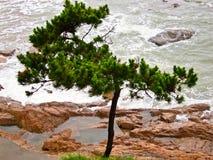 孤独的杉木 库存照片