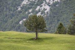 孤独的杉木 库存图片