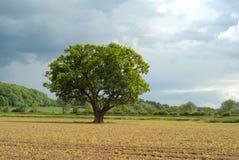 孤独的橡木 免版税库存图片