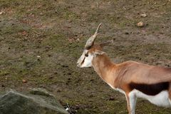 孤独的母鹿 库存照片