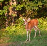 孤独的母鹿 免版税库存图片