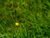 孤独的毛茛 库存照片