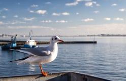 孤独的海鸥在Poole,英国港口  库存照片