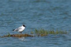 孤独的海鸥 免版税库存图片
