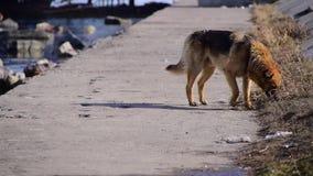 孤独的狗 股票视频