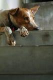 孤独的狗 免版税图库摄影