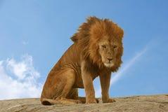 孤独的狮子 库存照片