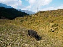 孤独的猪 免版税库存图片
