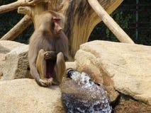 孤独的猴子坐水在动物园里在奥格斯堡 库存图片