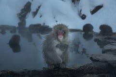 孤独的猴子onsen 免版税库存图片