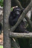 孤独的猿 库存图片