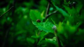 孤独的瓢虫 免版税图库摄影