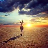 孤独的羚羊在有破裂的土壤的干燥国家在剧烈的平衡的日落天空下 免版税图库摄影