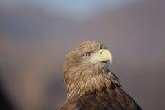 孤独的老鹰 免版税库存图片