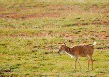 孤独的藏羚羊 库存图片