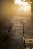 孤独的走的鸠或鸽子剪影在红色发光的日落天空 看法与太阳反射的云彩安静 免版税库存照片