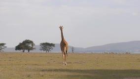 孤独的长颈鹿横跨与白炽地球,非洲大草原4K的领域移动 股票录像