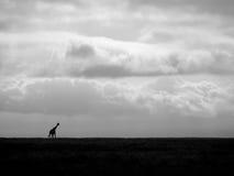 孤独的长颈鹿 免版税库存图片