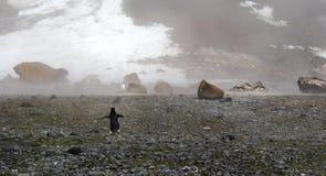孤独的阿德力企鹅企鹅在南极洲 免版税库存图片