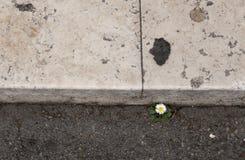 孤独的雏菊 免版税图库摄影