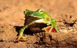 孤独的青蛙在沙漠 库存图片