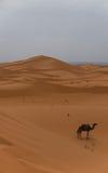孤独的骆驼在沙漠 免版税图库摄影