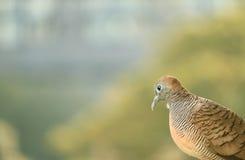 孤独的鸟,一匹野生斑马在下午阳光潜水 免版税库存图片