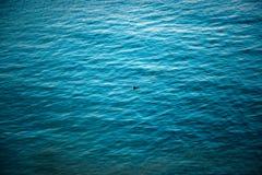 孤独的鸭子在太平洋 库存图片