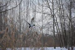 孤独的鸭子离开背景雪,河用茅草盖和冬天树 免版税图库摄影