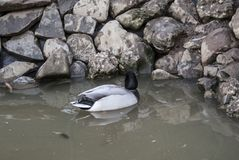 孤独的鸭子 免版税图库摄影