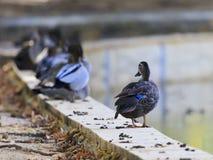 孤独的鸭子01 图库摄影