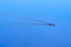 孤独的鸭子 库存图片