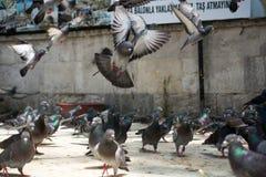 孤独的鸽子在城市环境里 库存图片